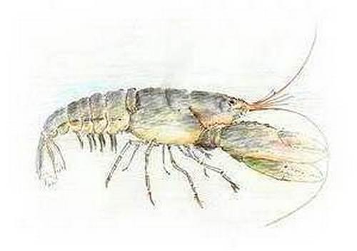 Foraging Lobster