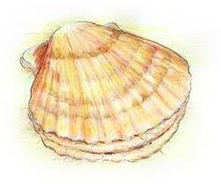 Clam Shellfish