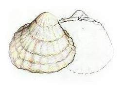 Cockle Shellfish