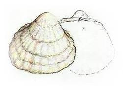 Cockle Shellfish