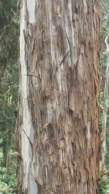 cypress trees at lushoto farm Tanzania